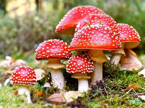 Amanita Muscaria. Photo credit: Soul Remedy