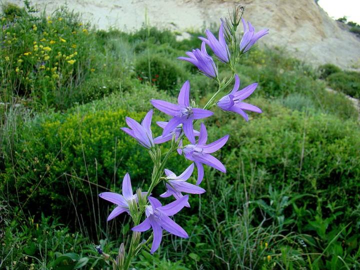 Campanula rapunculus. Photo credit: Flora of Israel Online/Prof. Avinoam Danin