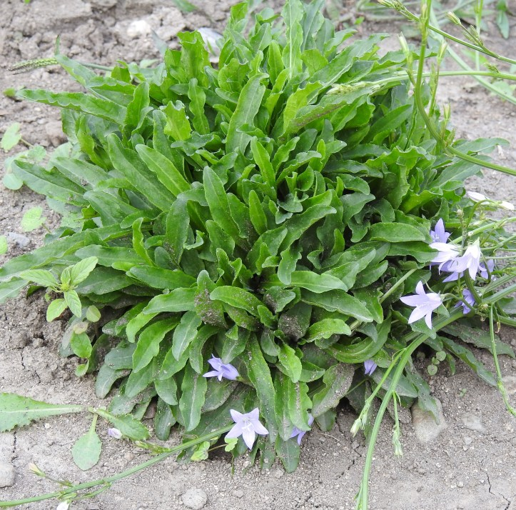 Strictly Medicinal Seeds