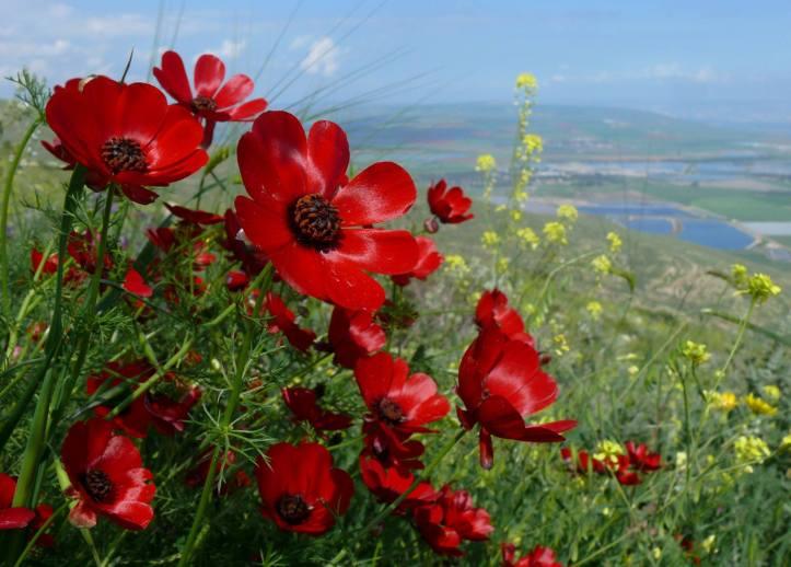 Bunga adonis merah. Photo credit: Pinterest