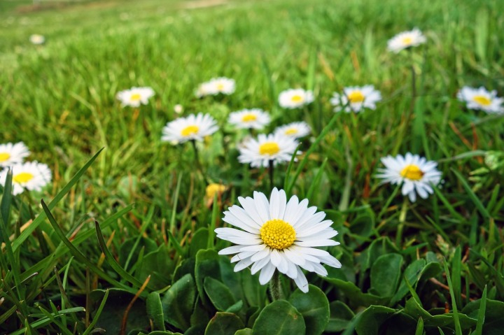 Bunga daisy putih. Photo credit: Pixabay