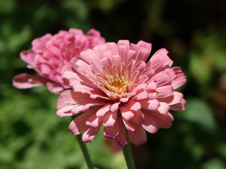 Bunga zinnia. Photo credit: Pixabay