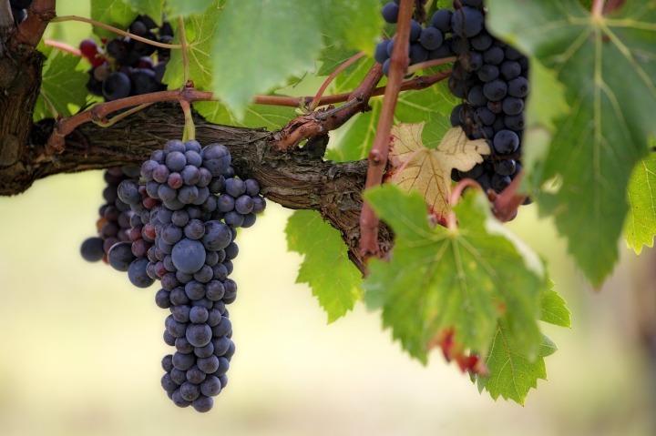 Tanaman dan buah anggur. Photo credit: Pixabay