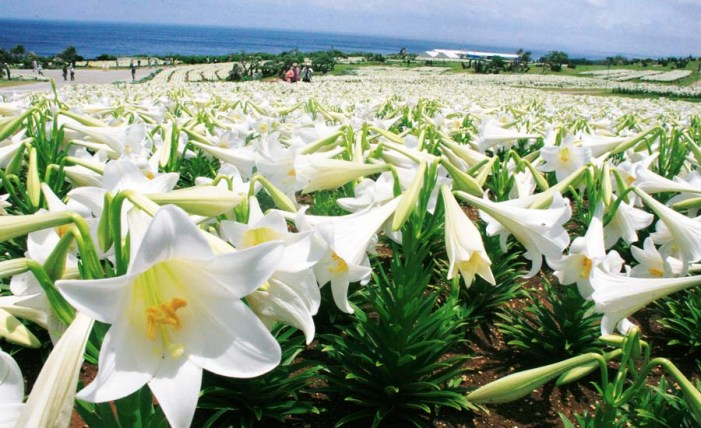 Ladang lili di Pulau Iejima, Okinawa. Photo credit: Okinawanderer
