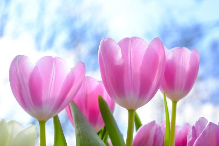 Bunga tulip. Photo credit: Pixabay