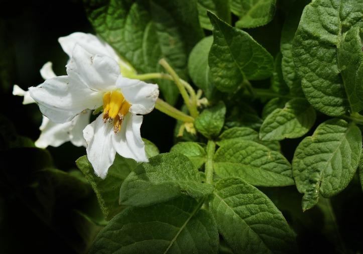 Tumbuhan dan bunga kentang. Photo credit: Pixabay