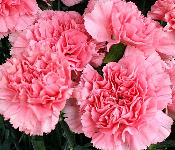 Ilustrasi bunga carnation. Photo credit: Pinterest
